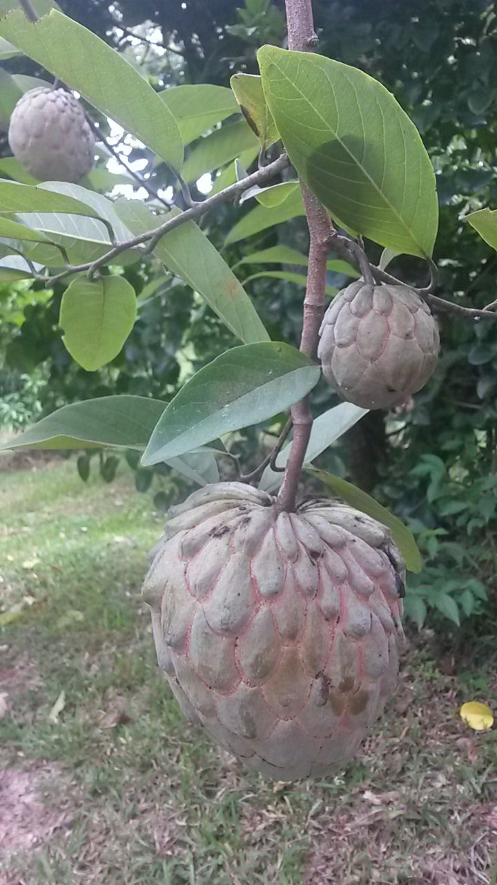 This is a triple hybrid fruits of Annona cherimola, Annona squamosa and Annona reticulata