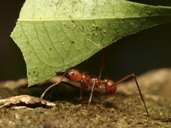Las hormigas son insectos comunes, pero presentan algunas características únicas. En el mundo se conocen más de 10.000 especies de hormiga. Predominan especialmente en los bosques tropicales, donde en determinados lugares pueden suponer hasta la mitad de la población de insectos.  Los hormigas son muy parecidas a las termitas, y ambas suelen ser confundidas... especialmente por inquietos propietarios de casas. Sin embargo, las hormigas tienen una «cintura» estrecha entre el abdomen y el…