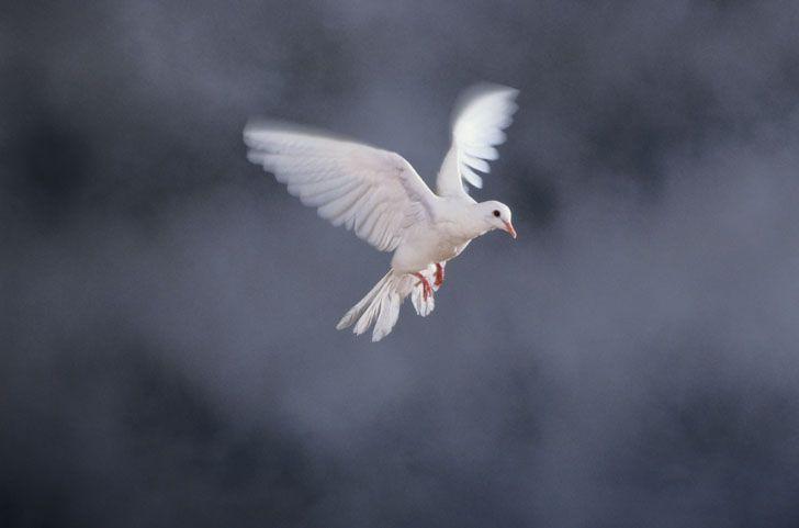 De witte duif symboliseert vrede