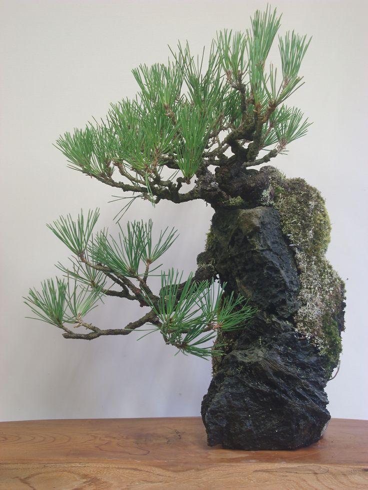 黒松の石付盆栽 2013.08.10 撮影