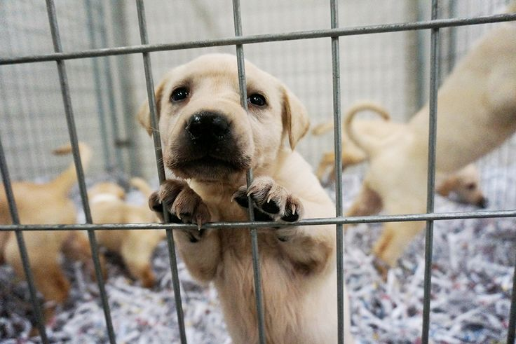White lab puppies for sale in wisconsin
