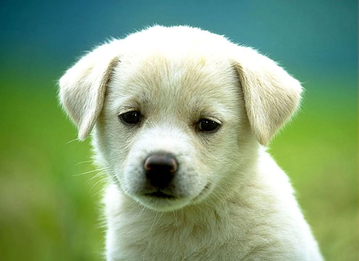 Cani di razza: Labrador retriever http://razze-cani.com/ Top 1 razze