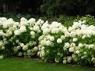 white ortensia