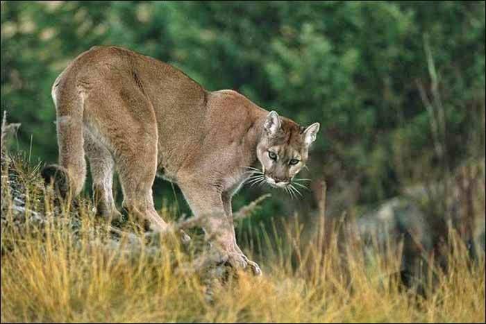Onça-parda (Puma concolor) Suçuarana, leão da montanha, puma, cougar... A lista de nomes da onça-parda é longa.   É encontrada das montanhas Rochosas, no Canadá, até o sul da Patagônia chilena, dos picos nevados dos Andes até florestas brancas da Caatinga, das planícies do Pantanal até a Floresta Amazônica. Devido à sua distribuição extensa, o felino acabou recebendo vários nomes populares em línguas diferentes.