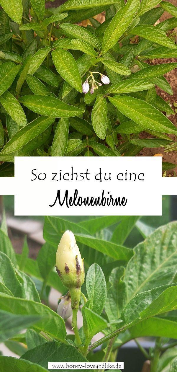 Vom Urlaub Nach Hause Gekommen Und Erste Pepino Entdeckt Pepino Melonenbirne Aussamen Gartenliebe Selbstversorger Gart Gartenliebe Garten Melonenbirne