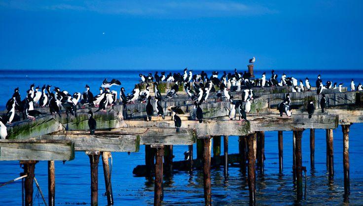 #PuntaArenas, Imperial #cormorants - Setours ©