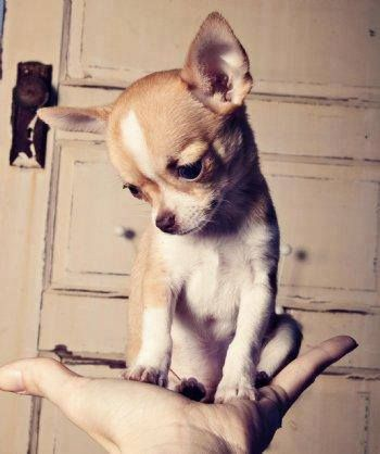 A handful of chihuahua cuteness. You can't say that's not adorable.