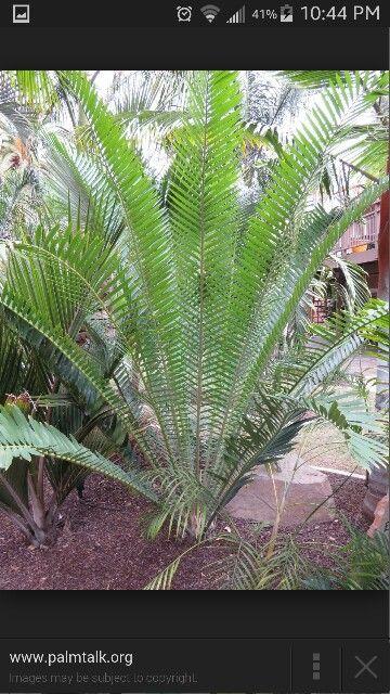 Whitelockii encephalartus cycad