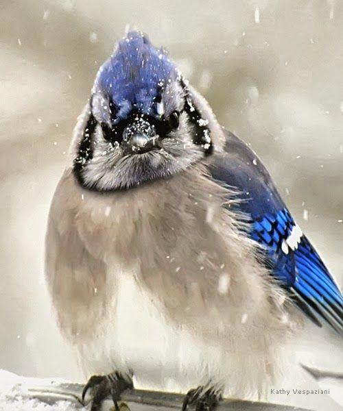Blue Jay in Snow - ©Kathy Vespaziani (via National Wildlife Federation)