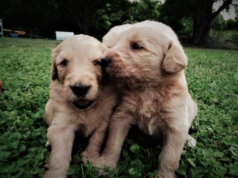 Litter Of 10 Double Doodle Puppies For Sale In Sarasota Fl Adn