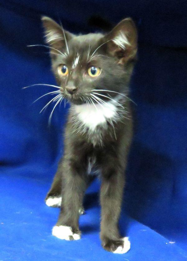 Pets For Adoption Petfinder Pet Adoption Adoption Cat Rescue