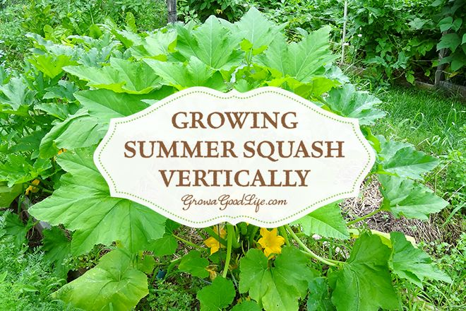 Summer Squash Squashes And Tomato Cages On Pinterest 400 x 300