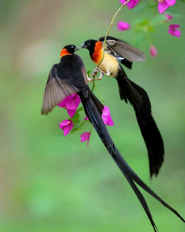 Wydahs, males of 2 different species. Aka 'widow birds'