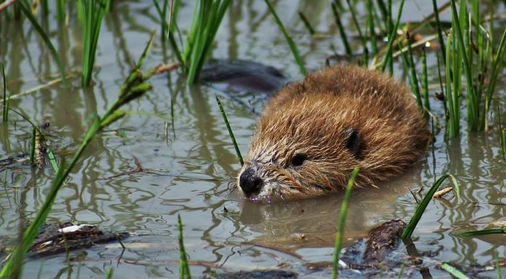 A baby beaver is called a kit. This one was seen swimming at Connected Lakes in Grand Junction, Colorado.