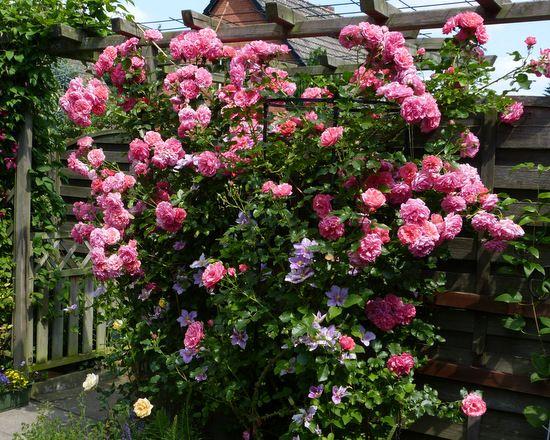Rosen und Clematis - Clerotiker 2014 - Seite 1 - Rund um die Rose - Mein schöner Garten online