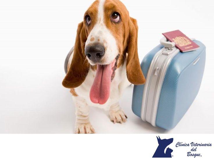 Saldré de viaje con mi mascota. CLÍNICA VETERINARIA DEL BOSQUE. Si planeas viajar con tu mascota en avión, es fundamental que consultes las condiciones de la aerolínea para el transporte de animales. Generalmente, solicitan certificados de vacunación, constancias de salud firmadas por un veterinario con su Cédula profesional y otros documentos que debes tramitar con anticipación. En Clínica Veterinaria del Bosque podemos ayudarte con estos documentos. #cuidadodemascotas