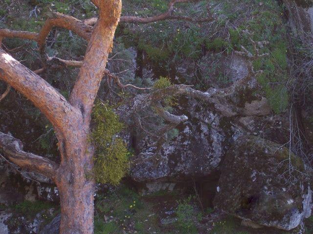 Muérdago (Viscum album L.)  Planta semiparásita muy típica de estas épocas navideñas.