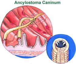 One of the best home remedies to deal with intense itching around the rectum caused by intestinal worms is garlic. Simply make a paste with raw ground garlic and a pinch of Vaseline. Apply this around the anal region to kill the eggs and lessen the itchiness