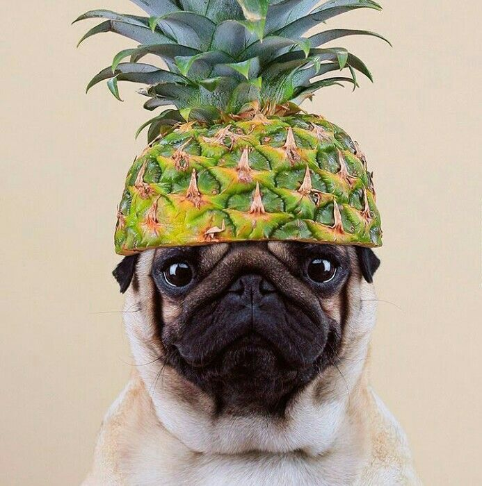17 Best Images About Pugs On Pinterest