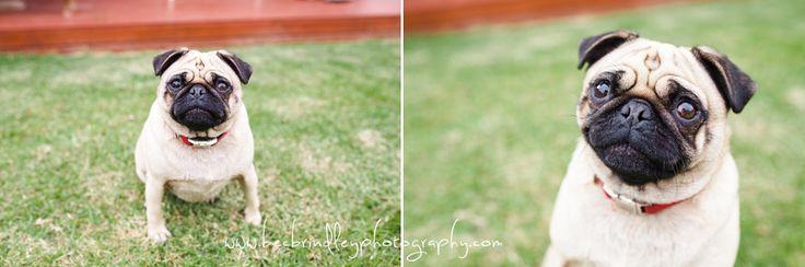 Pug Pet Photography   Bec Brindley Photography