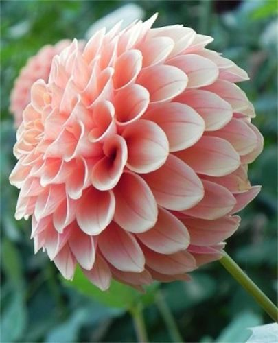 176 best dahlia images on pinterest   flowers, dahlia flowers and