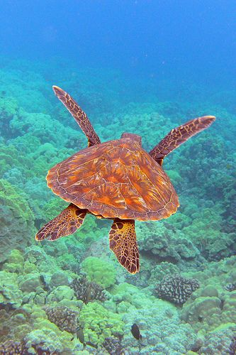 ~~Lead Sled ~ Green Sea Turtle by BarryFackler~~