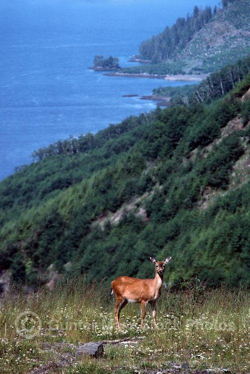 Black-tailed Deer aka Blacktail Deer (Odocoileus hemionus columbianus), Haida Gwaii, BC, British Columbia, Canada - North American Wildlife