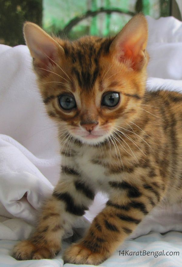 Bengal cat for sale houston tx