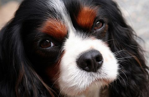 Cavalier King Charles Spaniel...future dog!!!
