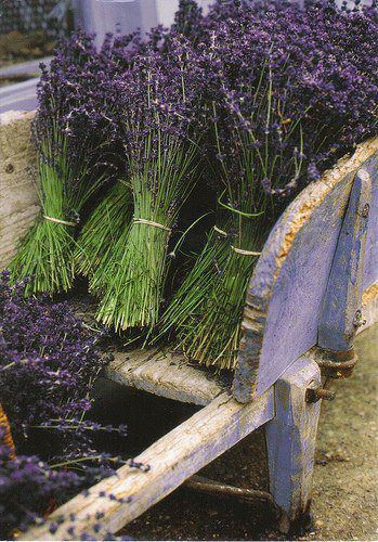 Lavender freshly picked and tied from the lavender fields of Provence.
