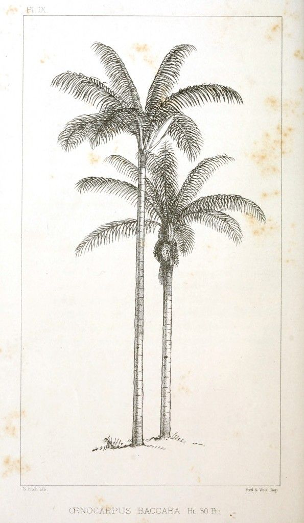 Botanical - Engraving - Trees - Amazonian Palm Trees -  19th Century Botany Engravings