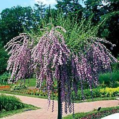 Buddleia alternifolia 'Argentea' (Silver Fountain or Alternate Leaf Butterfly Bush)