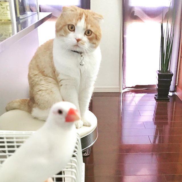 🐤🐱お二人さんいい感じですよ💕💕 #ミータ&ぷく#🐤#🐱#並んで#こっち見る#可愛らしい#2人#📸#少しづつ仲良し#文鳥#猫#揃って写真#ポーズ#ねこ#愛猫#愛鳥#スコティッシュ#はちわれ部 #茶トラ#ねこぶ#ねこすた#ふわふわ#スコ#catlove #kitty #cat #scottish #ペット#鳥
