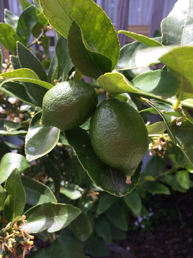 Growing Tahitian limes