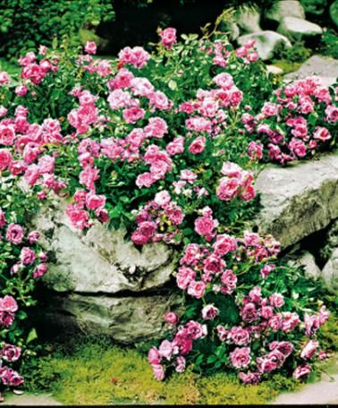 Ground Cover Rose 'Pink The Fairy' (Rosa Polyantha 'The Fairy') are undemanding and flower for a long time producing clusters of little fine pure pink flowers well into autumn. Grown in hanging baskets or in planters, they bloom intensely producing a cascade of romantic flowers.