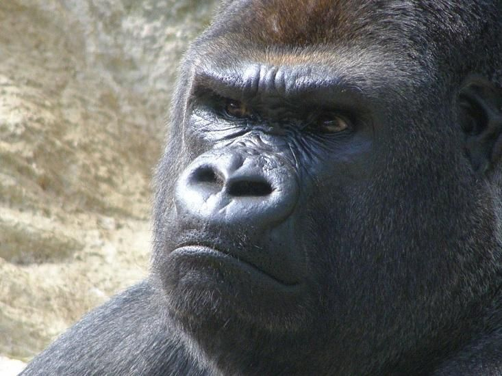 "Angry Apes ""Flick"" Each Other Off. Is That Where We Got Our Gesture? - Facts So Romantic - Nautilus"