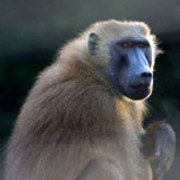 Des babouins apprennent l'ortographe indépendamment du son et du sens des mots