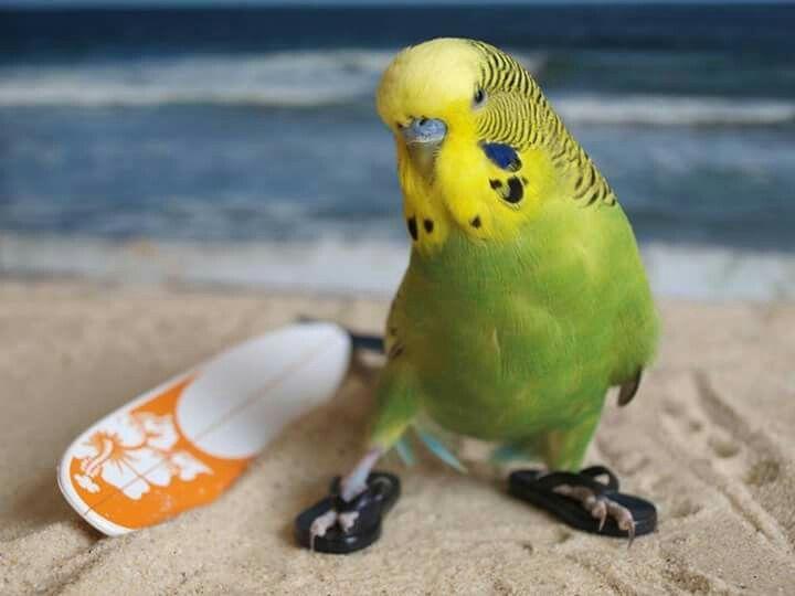 Surfing budgie