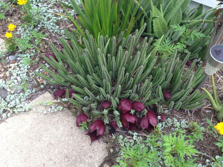 Stapelia soon to bloom. Jan 2015