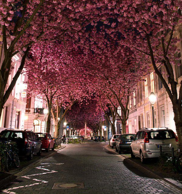 Cherry Blossom Avenue, in Bonn, Germany