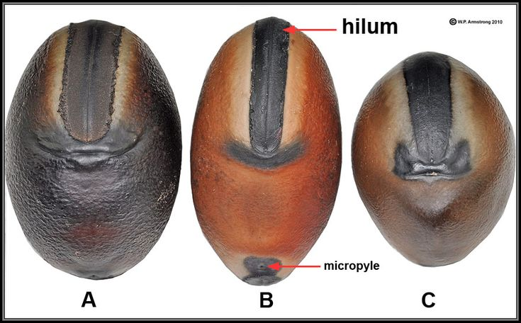 "Seeds of Mucuna species showing two distinct ""smileys."" A. Seed from a pod collected in Golfito, Costa Rica. Originally identified as M. urens, the smiley is more similar to M. sloanei. B. Drift seed of M. urens collected on a beach in Belize. Note the thinner, upcurved smiley and reddish coloration. C. Drift seed of M. sloanei from Belize showing a thicker, blocky shaped smiley. The latter species also occurs in the Monteverde Cloud Forest of Costa Rica."