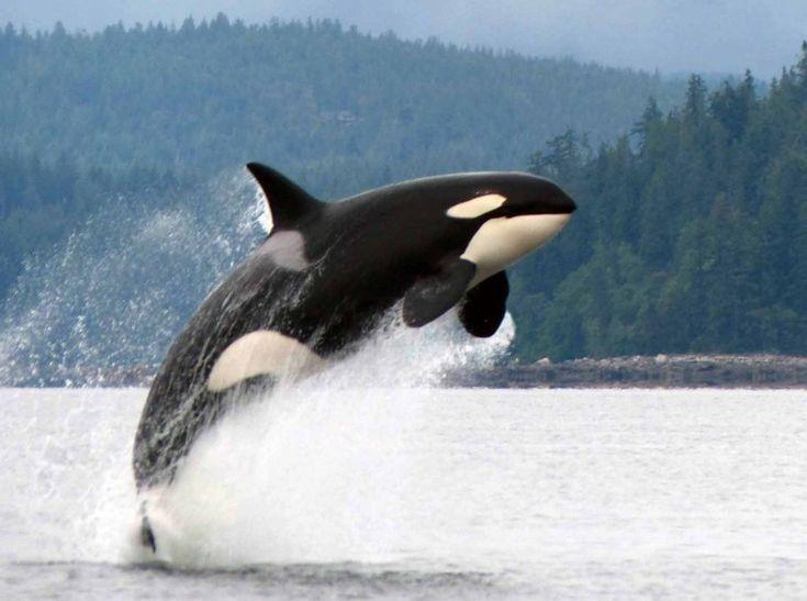 Incontro ravvicinato del fotografo Garry Henkel con una maestosa orca, nelle acque delle coste della British Columbia. La sequenza di questo spettacolare salto è stata realizzata nel corso di un tour in barca per osservare queste meravigliose creature marine    FOTO ©HOTSPOTMEDIA/IBERPRE