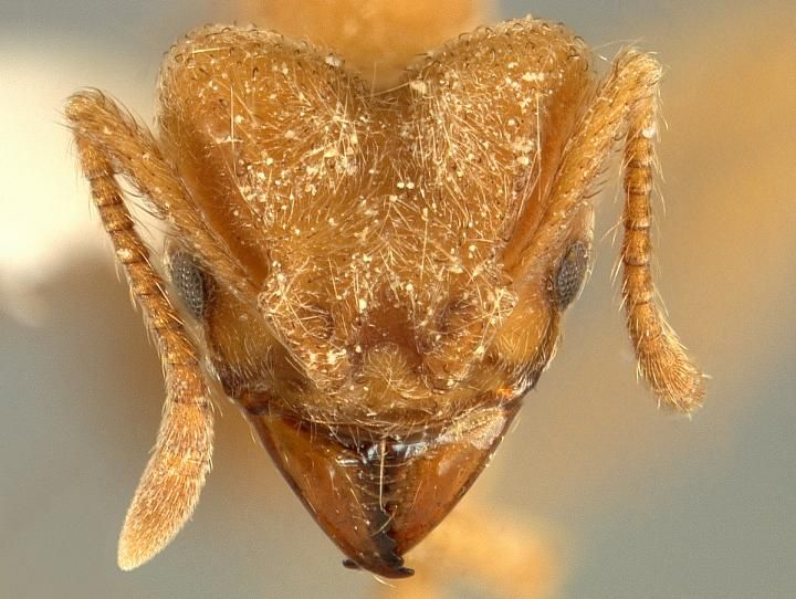 OK creepy crawly: New ant species named after the band Radiohead