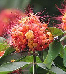 Sita-Ashok (Saraca asoca) flowers 아쇼카 나무와 신화 (무우수)