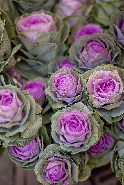 17 best images about cabbage and kale on pinterest gardens cabbages and flower. Black Bedroom Furniture Sets. Home Design Ideas