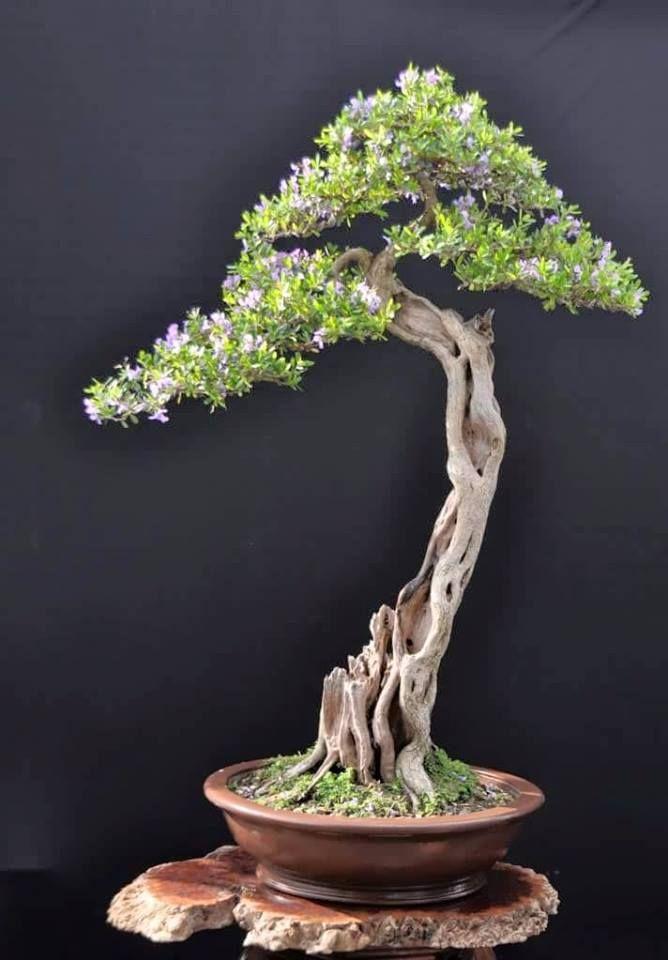 214 Best Bonsai Olivo Images On Pinterest Bonsai Bonsai