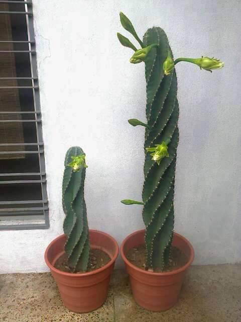 Cereus spiralis en floración