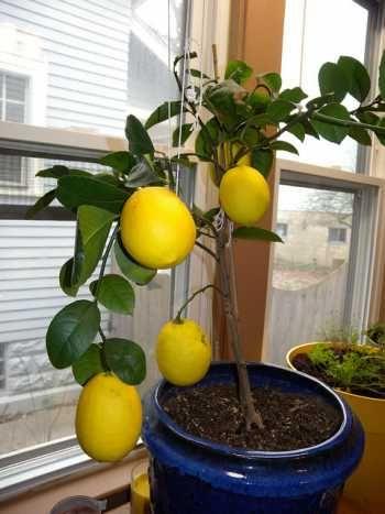 Wie man einen Zitronenbaum aus Samen in Ihrem Haus züchtet