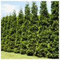 Thuja Green Giant=another fast growing evergreen (3-5 ft/yr once est)