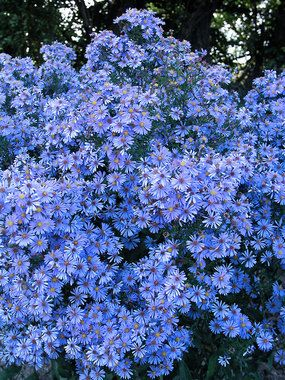 "Aster laevis Bluebird  Michaelmas Daisy  Type: Perennials  Height: Tall 4' (Plant 20"" apart)  Bloom Time: Late Summer to Late Fall  Sun-Shade: Full Sun to Mostly Sunny"